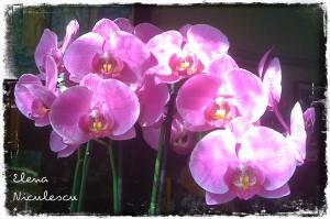 orhidee-cyclam
