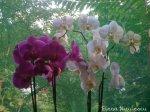 orhidee-ff