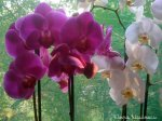 orhidee-ff1