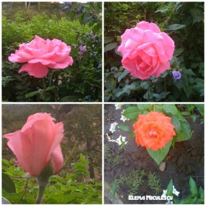 collage-roses