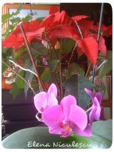 craciunita-cu-orhidee