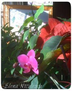 craciunita-si-orhidee14
