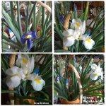 collage irisi