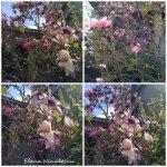 collage magnolie Sf. Spiridon 7apr