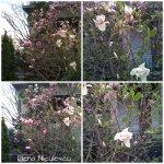 collage magnolie Sf Spiridon din 7apr