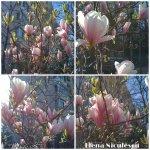 collage magnolii 1aprilie