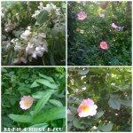 collage cu flori salcam maces 6mai