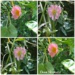 collage flori de maces 6mai