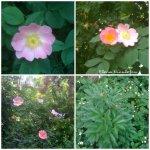 collage flori de maces si bujori 10mai