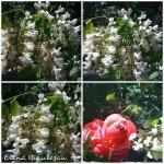 collage flori de salcam si trand 11mai