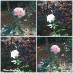 collage trand alb si roz 20oct