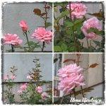 collage trand roz tin 2oct