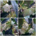 collage floare alba 15 martiea