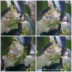 collage floare alba 15martie
