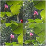 collage muscata roz 1iulie