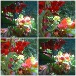 collage muscate ghetzisoara2