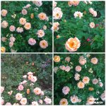 collage trand roz 1 auga