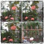 collage trand roz 4sept