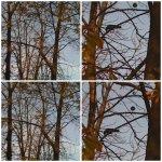 collage copaci cu ciori 11nov