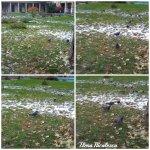 collage porumbei 6dec