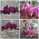 colaj 11 febr cu orhideecyclam