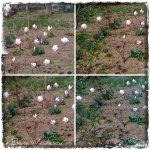collage magnolia 19martie