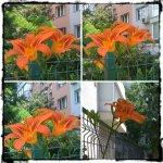 collage crini portocalii 6iunie