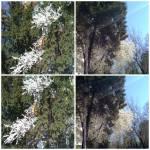 colaj 24 martie 19 conifere sicorcodus