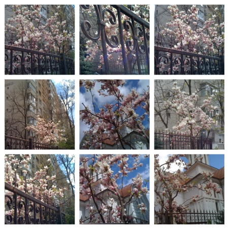collage magnolie 17 apr