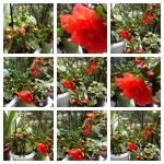collage flori rodiu 29mai