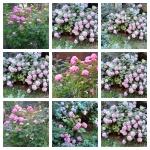 collage hortensii 3 iulie 20 –21